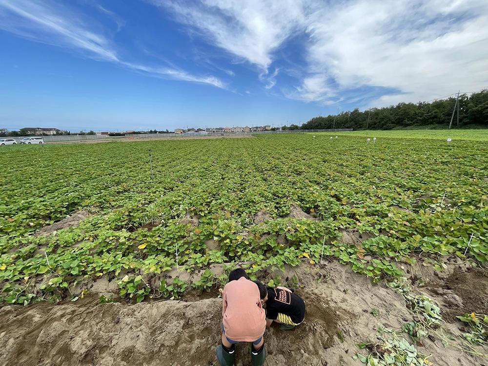 五郎島金時の収穫