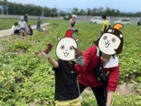 五郎島金時収穫体験